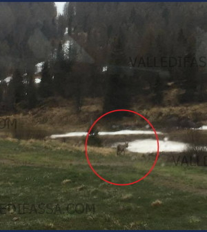 avvistamento lupo passo san pellegrino 12.5.17 dettaglio