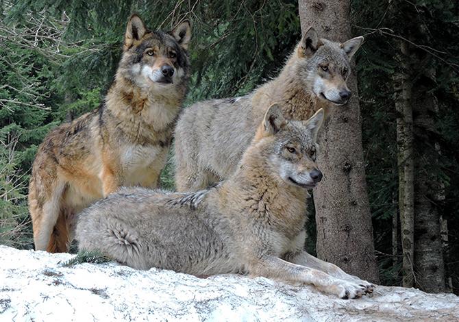 Top Soraga, lupo sbrana esemplare di capriolo femmina | Fassa - Eventi  HV27