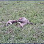 Soraga, lupo sbrana esemplare di capriolo femmina