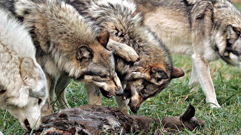 lupi-ibridi