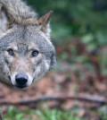 lupo sguardo 120x134 Il ritorno del lupo in Val di Fiemme, incontro a Cavalese