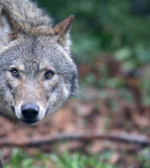 lupo-sguardo