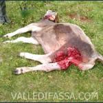 Il lupo sbrana una manza sui pascoli a Mazzin di Fassa