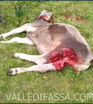 manza uccisa dal lupo a mazzin di fassa