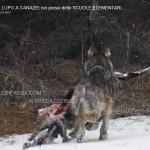 Canazei, il lupo mangia il muflone vicino alle Scuole Elementari