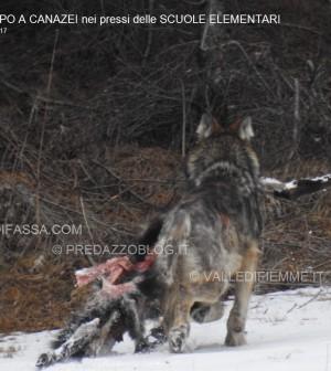 avvistamento lupo canazei valle di fassa scuole elementari3