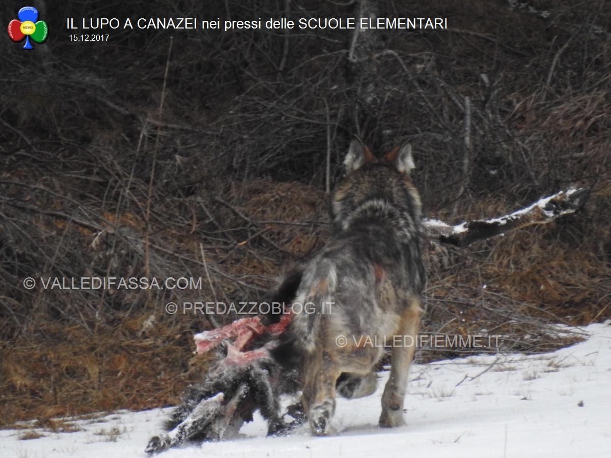 Famoso Canazei, il lupo mangia il muflone vicino alle Scuole Elementari  CO11