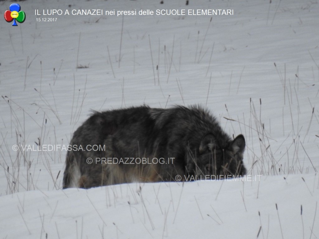 avvistamento lupo canazei valle di fassa scuole elementari4