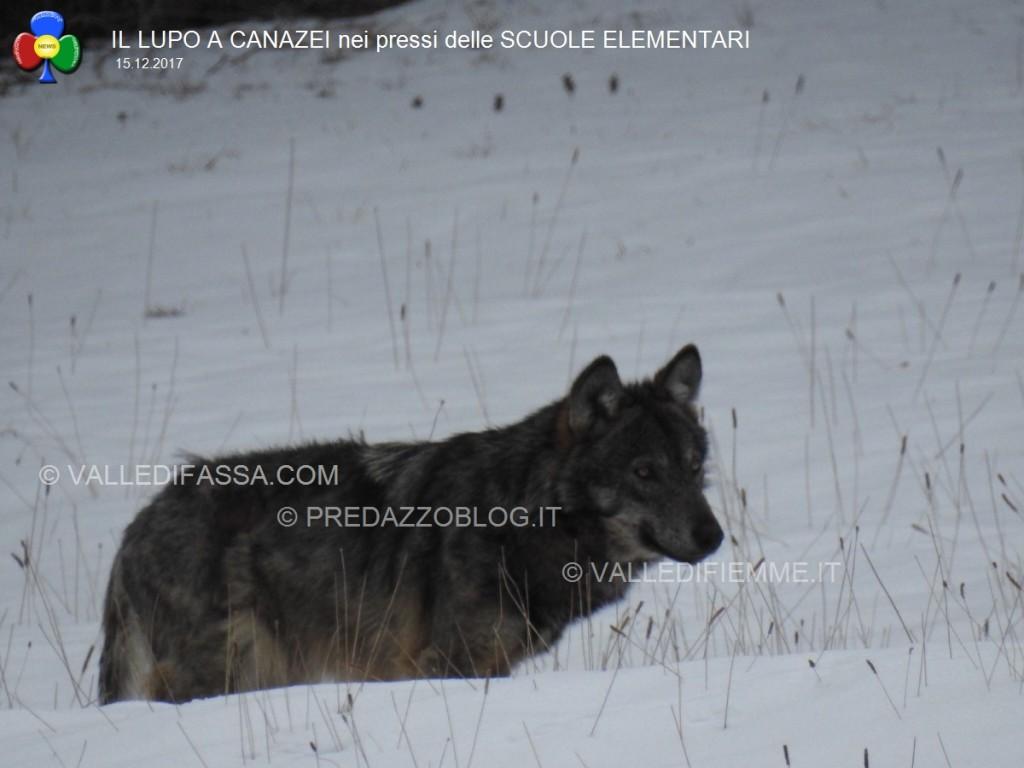 avvistamento lupo canazei valle di fassa scuole elementari5